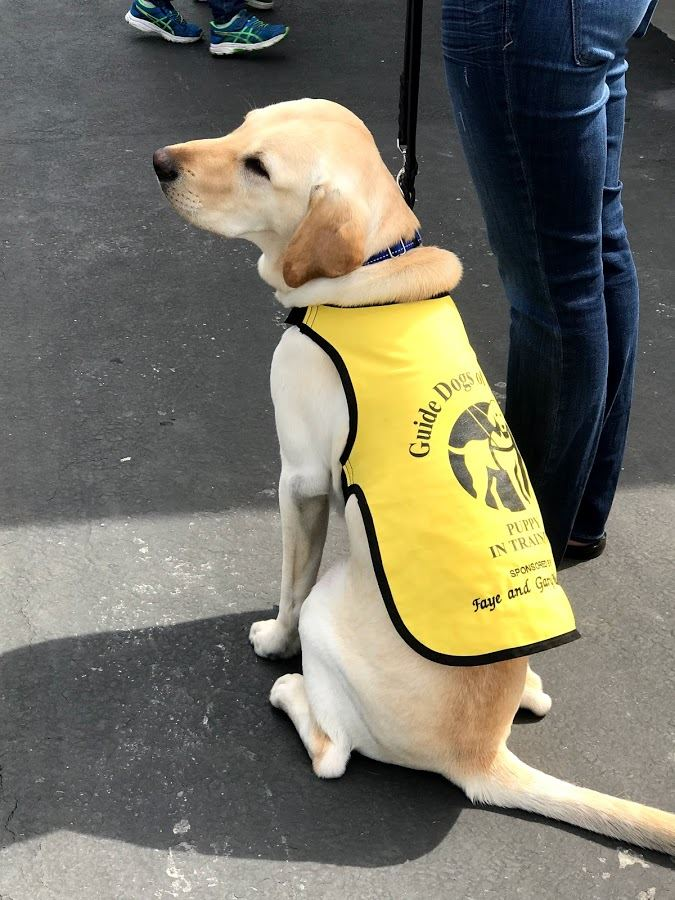 Close up of guide dog