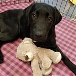 Luka the Guide Dog with his teddy bear